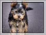 Pies, Yorkshire Terrier
